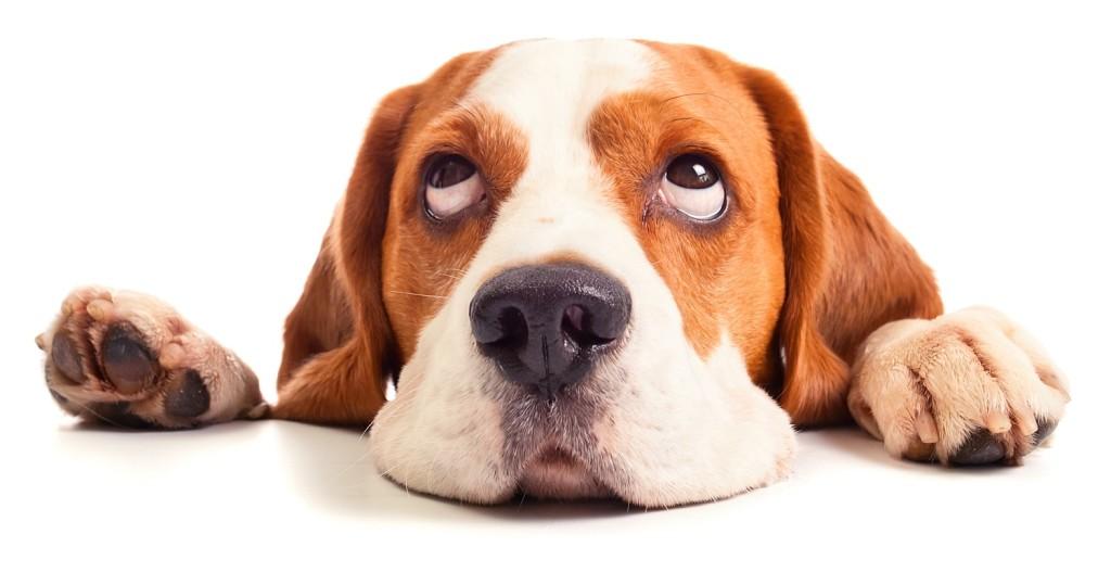 Haaranalyse für Hunde